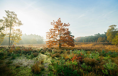 Field with heather between woods on autumn morning, Wouw, Netherlands - p429m1206793 by Mischa Keijser