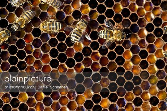 Honigwaben und Bienen, Freiburg im Breisgau, Baden-Württemberg, Deutschland - p1316m1160727 von Daniel Schoenen