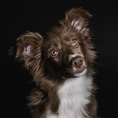 Close-up of Border Collie looking away while sitting against black background - p1166m2024660 by Cavan Images
