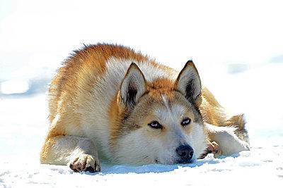 Russia, Lake Baikal, Siberian Husky lying on frozen lake - p300m1052972f by Gerald Nowak