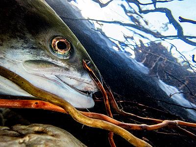 California, British Columbia, Adams River, Sockeye salmon, Oncorhynchus nerka - p300m2083327 by Gerald Nowak
