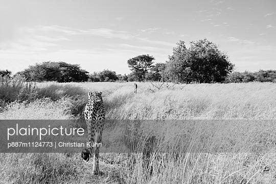 Geparden - p887m1124773 von Christian Kuhn