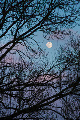 The bright disc of a full moon seen through a gap in trees in silhouette, leafless and in the winter twlight. - p1057m1540138 by Stephen Shepherd