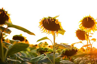 Close-up of sunflower growing outdoors during sunny day - p1166m2093975 by Cavan Images