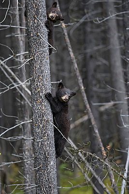 Canada, Rocky Mountains, Alberta. Jasper National Park, American black bear (Ursus americanus) two bear cubs climbing on tree - p300m981509f by Fotofeeling