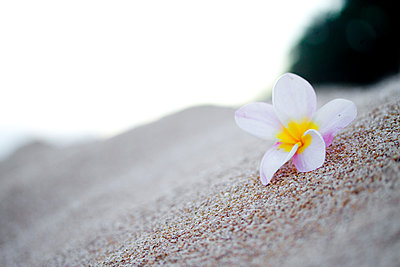 Plumeria Flower On The Beach In Hawaii - p343m1218009 by Sean Davey