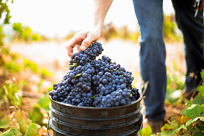 Harvest at vineyard in Santa Cruz Mountains - p343m1443409 by Clay McLachlan