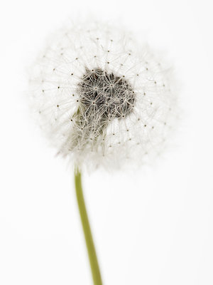Dandelion Seeds - p401m1203100 by Frank Baquet