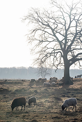 Flock of sheep on pasture - p739m1541098 by Baertels
