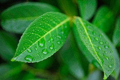 Regen auf Blättern - p8290134 von Régis Domergue