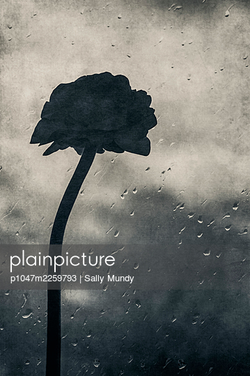 Silhouette of ranunculus flower on stem leaning against rainy window pane - p1047m2259793 by Sally Mundy