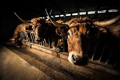 Rinder im Stall - p829m949353 von Régis Domergue