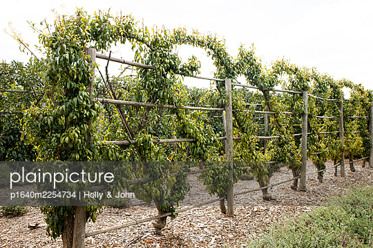 Grape vines in a row - p1640m2254734 by Holly & John