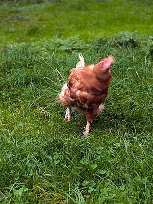 Hühnerflink - p1279m1092397 von Ulrike Piringer