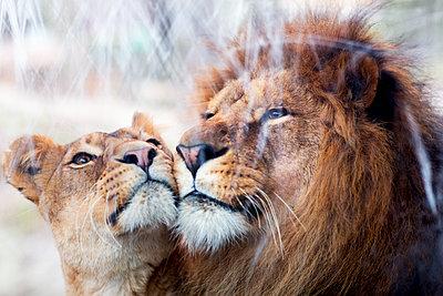 Lion couple together - p312m1187773 by Susanne Kronholm