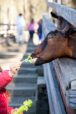 Feeding goats - p756m1042763 by Bénédicte Lassalle