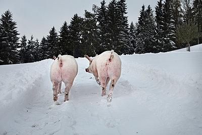 Schweine - p1134m949227 von Pia Grimbühler