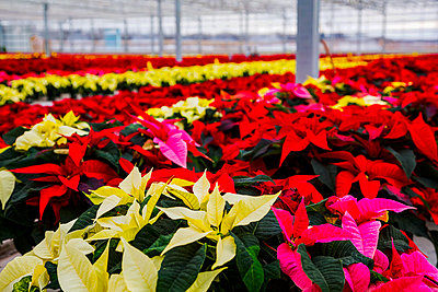 Rows of multi-coloured poinsettias that were grown in a greenhouse operation nearing the Christmas season; St. Albert, Alberta, Canada - p442m2004075 by LJM Photo