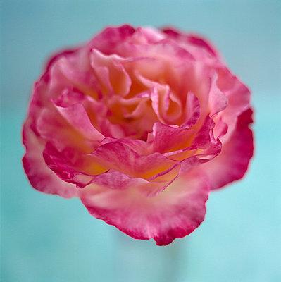 Draufsicht Rose - p4950173 von Jeanene Scott