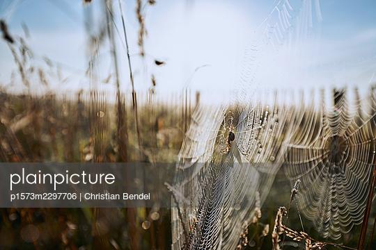 Araneus in cobweb - p1573m2297706 by Christian Bendel
