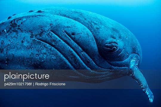 Curious female humpback whale, closeup, Roca Partida, Revillagigedo, Mexico - p429m1021798f by Rodrigo Friscione