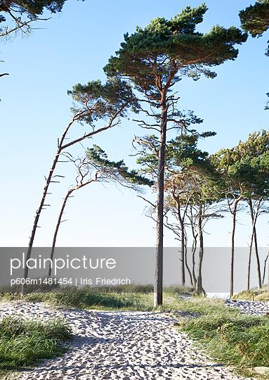 Wald aus Strandkiefern - p606m1481454 von Iris Friedrich