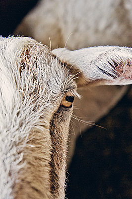 Goat, close-up - p318m2087163 by Christoph Eberle