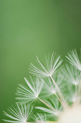 Dandelion seedhead, close-up - p624m699383f by Odilon Dimier