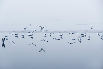 Flock of seagulls over Havel river - p739m1104197 by Baertels