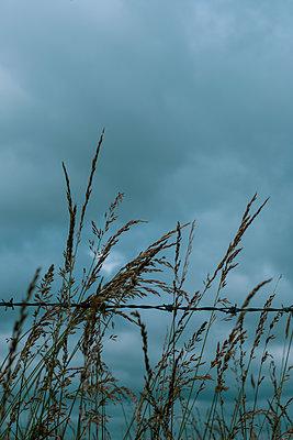 Wild grassa against a blue sky - p1228m2194537 by Benjamin Harte