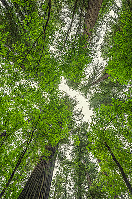 Redwood trees. Humboldt Redwoods State Park - p1436m2007880 by Joseph S. Giacalone