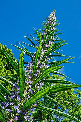 Blühendes Echium - p1562m2161162 von chinch gryniewicz