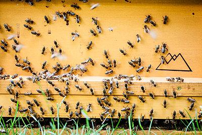 Bienen am Eingang vom Bienenstock - p1579m2158099 von Alexander Ziegler