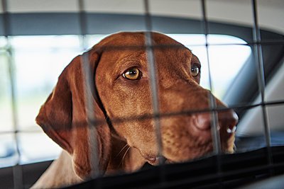 Vizsla in car - p227m2008251 by Uwe Nölke