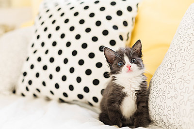 Starring kitten at home - p300m2012894 by Nicole Matthews