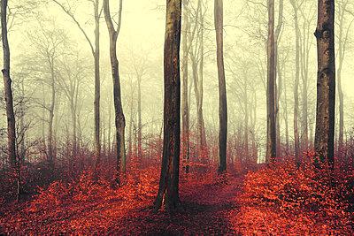 Autumn forest, red leaves - p300m2083216 by Dirk Wüstenhagen