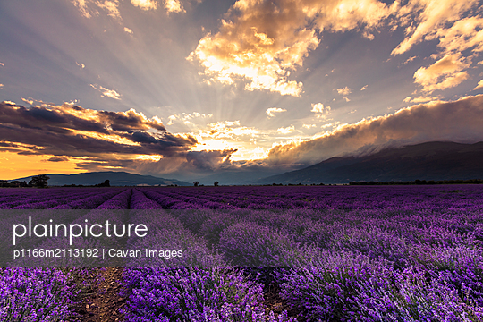 Vast lavender field at sunrise - p1166m2113192 by Cavan Images