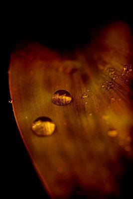 Rain drops on leaf - p1028m2214787 by Jean Marmeisse