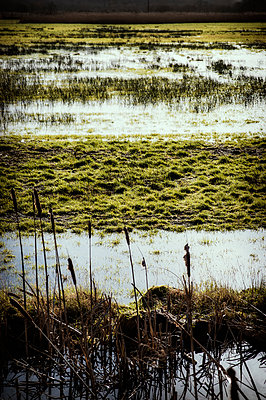 Bulrushes in a flooded field - p1047m1109674 by Sally Mundy