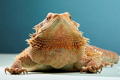 Studio portrait of Bearded Dragon (Pogona) - p1100m2002233 by Mint Images