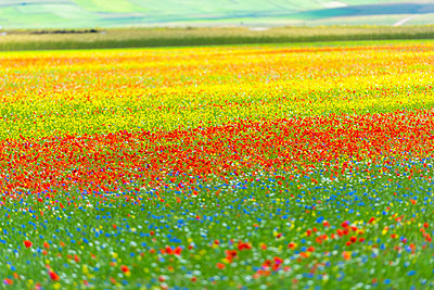 Italy, Umbria, Sibillini National Park, Blooming flowers and lentils on Piano Grande di Castelluccio di Norcia - p300m2059412 by Lorenzo Mattei