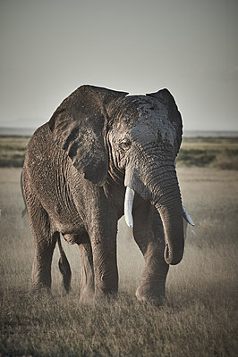 Portrait of single elephant, Kenya - p706m2158415 by Markus Tollhopf
