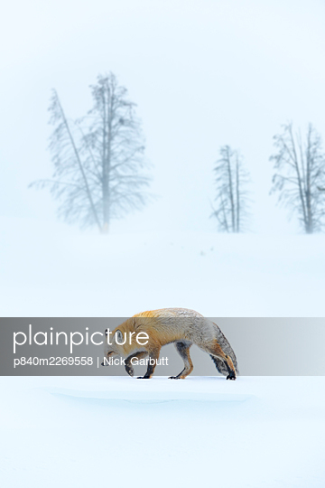 Red fox (Vulpes vulpes) foraging in snow, trees in background. Hayden Valley, Yellowstone, USA. February - p840m2269558 by Nick Garbutt