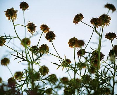 Vertrocknete Blumen - p3530163 von Stüdyo Berlin