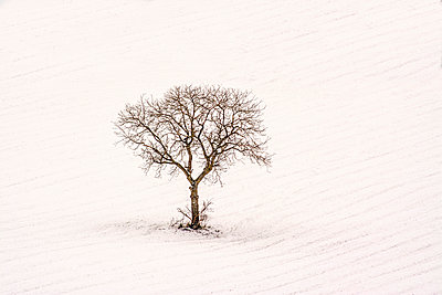 Isolated tree in a snowy field. - p813m1000130 by B.Jaubert
