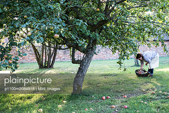 Woman wearing apron holding brown wicker basket, picking up windfall apples from the ground. - p1100m2084918 by Mint Images