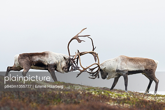 Wild reindeer . Fighting males in autumn. Forollhogna National Park. Norway.