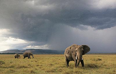 Elephants in Kenia - p3300405 by Harald Braun
