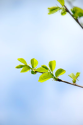 Leaves on a tree - p597m2026157 by Tim Robinson