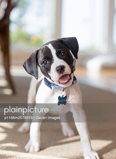 Cute black and white puppy with floppy ears - p1166m2078519 by Cavan Images